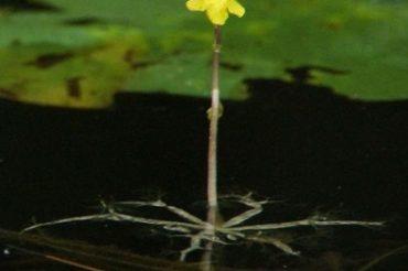 Bladderworts: Killers on the Pond